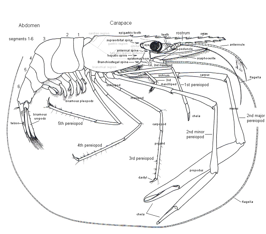 Caridean Shrimp Anatomy
